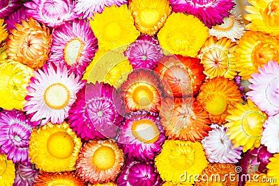 Colorful strawflowers