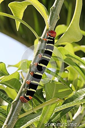 Colorful Tetrio Sphinx Caterpillar Eating