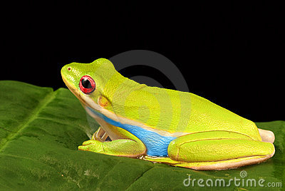 Colorful tree frog against black background