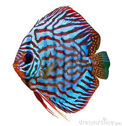 Free Colorful Tropical Discus Fish Stock Photos - 3930643