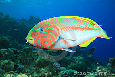 Colorful Tropical Fish Stock Image - Image: 16025201