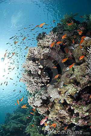 Colorful tropical reef scene buzzing with Anthias.