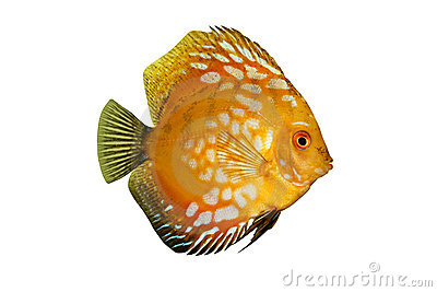 Colorful tropical Symphysodon discus fish isolated