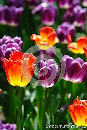 Free Colorful Tulip In Sun Shine Royalty Free Stock Image - 14255496