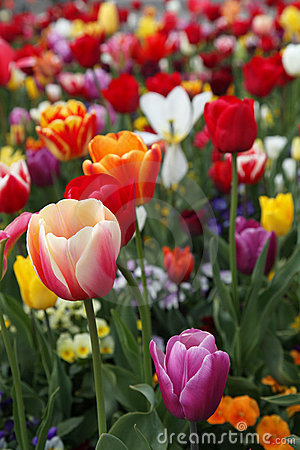 Free Colorful Tulips Stock Photos - 19335913