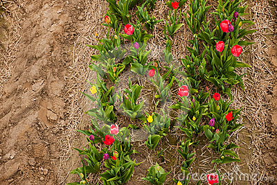 Colorful tulips from above