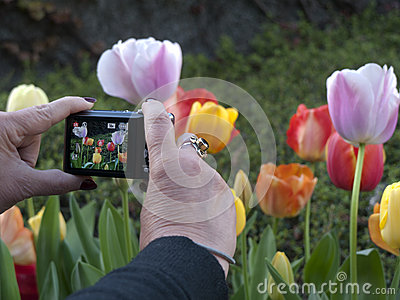 Photographing tulips with a pocket camera