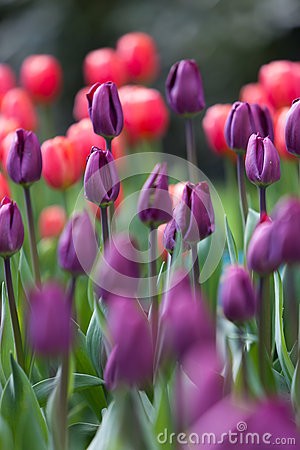 Colorful tulips on blurred background