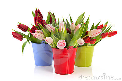 Colorful tulips in buckets