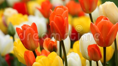 Colorful tulips. In early spring, close up stock video footage