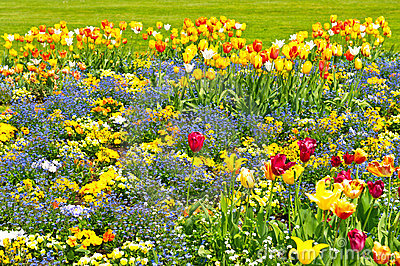 Colorful tulips on flowerbed. outdoors garden