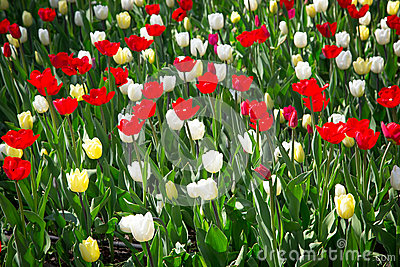 Colorful tulips in the garden