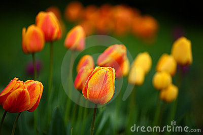 Colorful tulips in the park