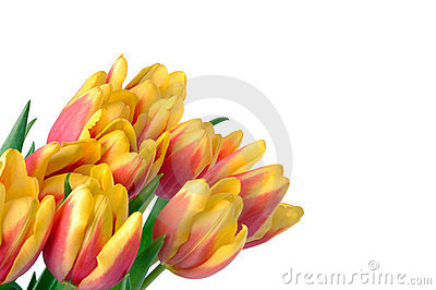 Colorful tulips on white