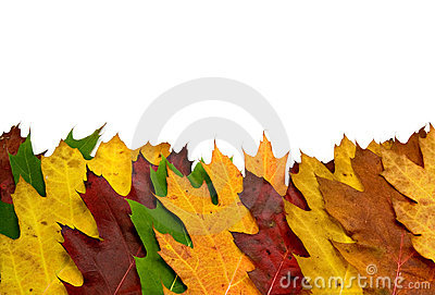 Colorful vivid maple leaves