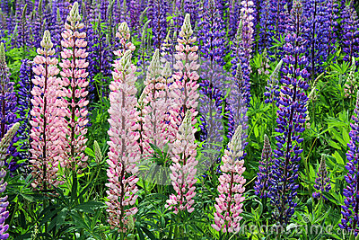Colorful Wild Lupin Flowers (Lupinus spp)