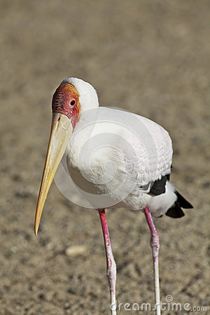 Colorful Yellow-billed Stork