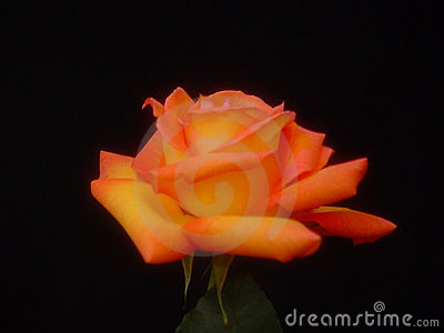 Colorful Yellow Rose