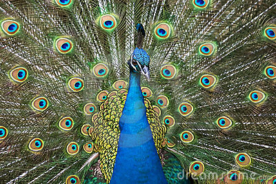 Colori del pavone fotografia stock immagine 4470842 - Immagini pavone a colori ...