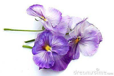 Colors of Spring - Pansies