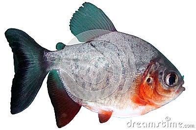 鬼针草属colossoma鱼paku比拉鱼红色