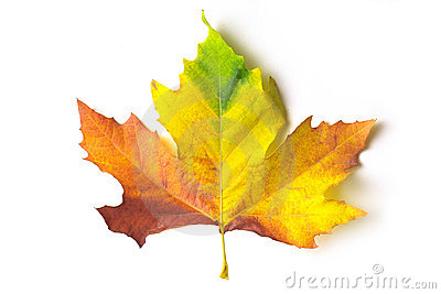 Coloured maple leaf