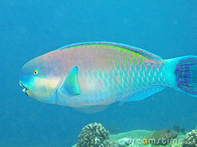 Coloured Parrotfish