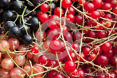 Colourful currants in assorted colours