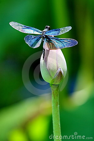 Free Colourful Dragonfly On A Lotus Flower Royalty Free Stock Photography - 5722477