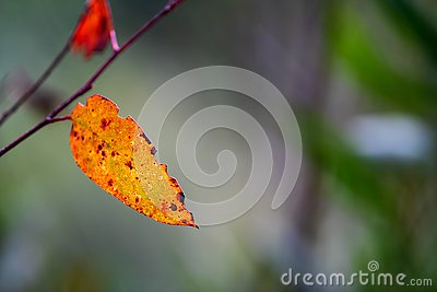 Colourful eucalyptus leaf in the Australian bush back lit by the sun Stock Photo