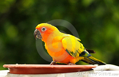 A colourful hungry parrot