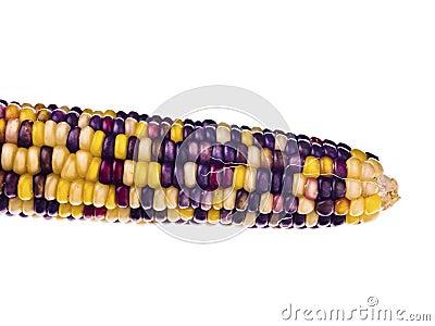Colourful indian corn