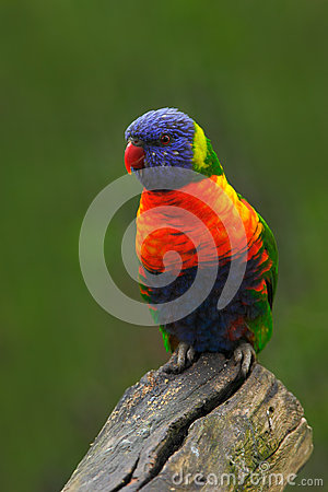 Free Colourful Parrot Rainbow, Lorikeets Trichoglossus Haematodus, Sitting On The Branch, Animal In The Nature Habitat, Australia Royalty Free Stock Photos - 70944628