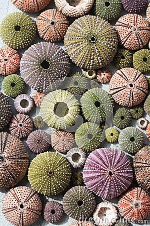 Free Colourful Sea Urchin Shells Royalty Free Stock Image - 71147246