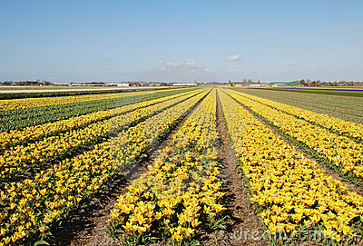 Colourful tulip fields Holland