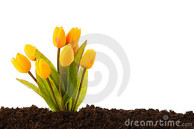 Colourful tulip flowers growing