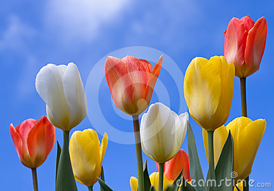 Colourful tulips in spring.