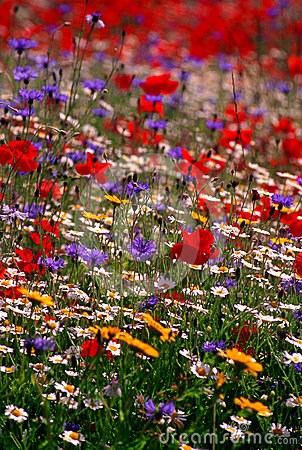 Colourful wildflower meadow, England