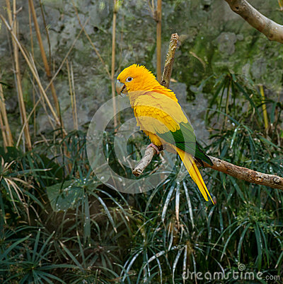 Free Colourful Yellow Lori Parrot  On The Perch Stock Photo - 36619380