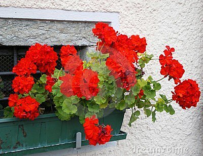 Colours of Italy geraniums