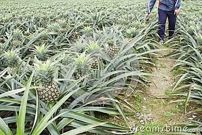 Coltivatore che pianta la frutta dell 39 ananas fotografie for Pianta ananas