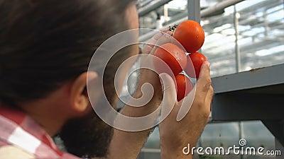 Coltivatore ucciso che controlla i pomodori freschi in filiera in serra, qualità del prodotto video d archivio