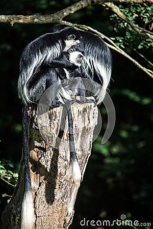 Colubus Monkeys