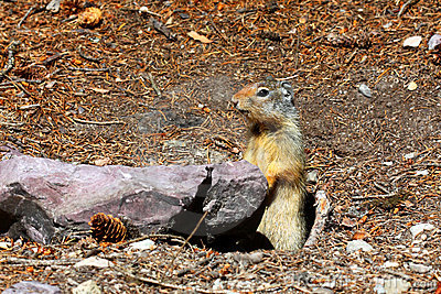 Columbian ground squirrel - Montana