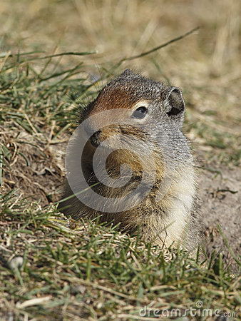 Free Columbian Ground Squirrel Peering Out Of Its Burrow - Banff, Can Royalty Free Stock Image - 51889236