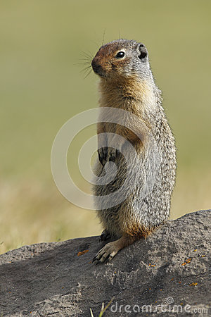 Free Columbian Ground Squirrel Scouting Its Territory - Alberta, Cana Stock Photography - 51893952