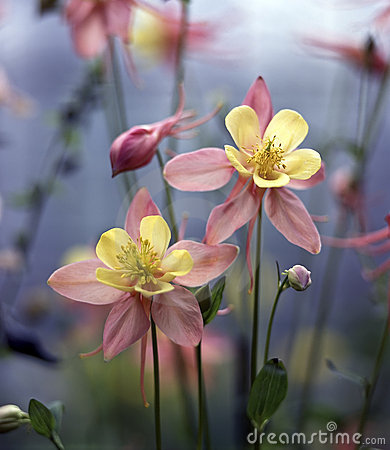 Free Columbine Royalty Free Stock Photo - 12125725
