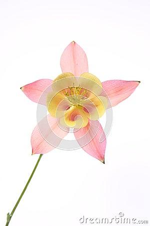 Free Columbine Flower Stock Photos - 19710813