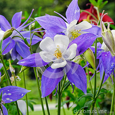 Free Columbine Flower Royalty Free Stock Images - 52068249