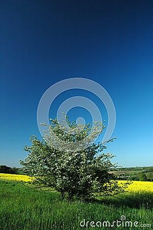 Colza field #03